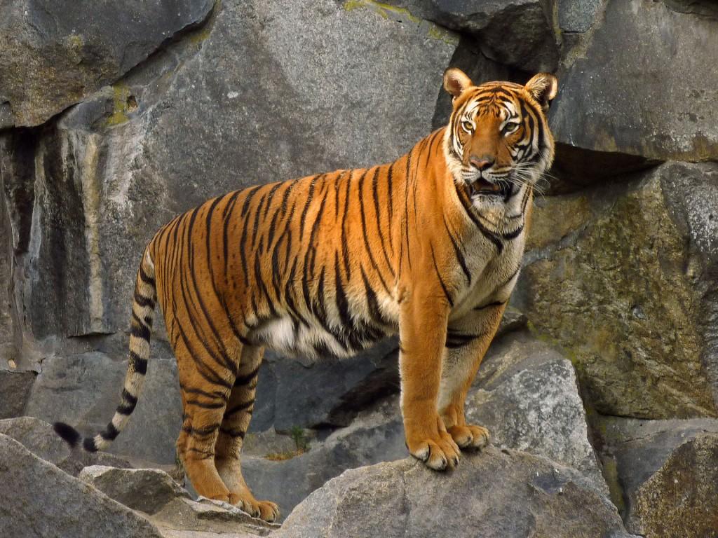 Panthera_tigris_corbetti_(Tierpark_Berlin)_832-714-(118)