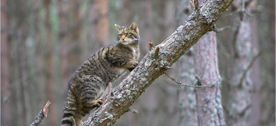 peter-cairns-scottish-wildcat-12-web