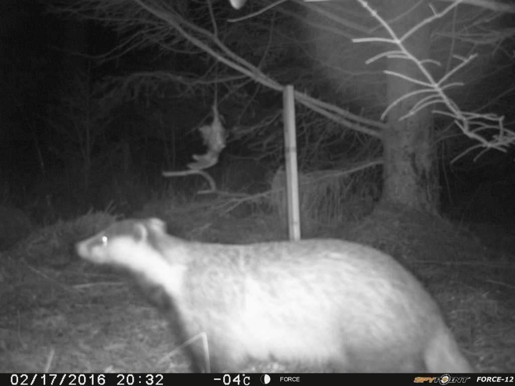 A badger passes by